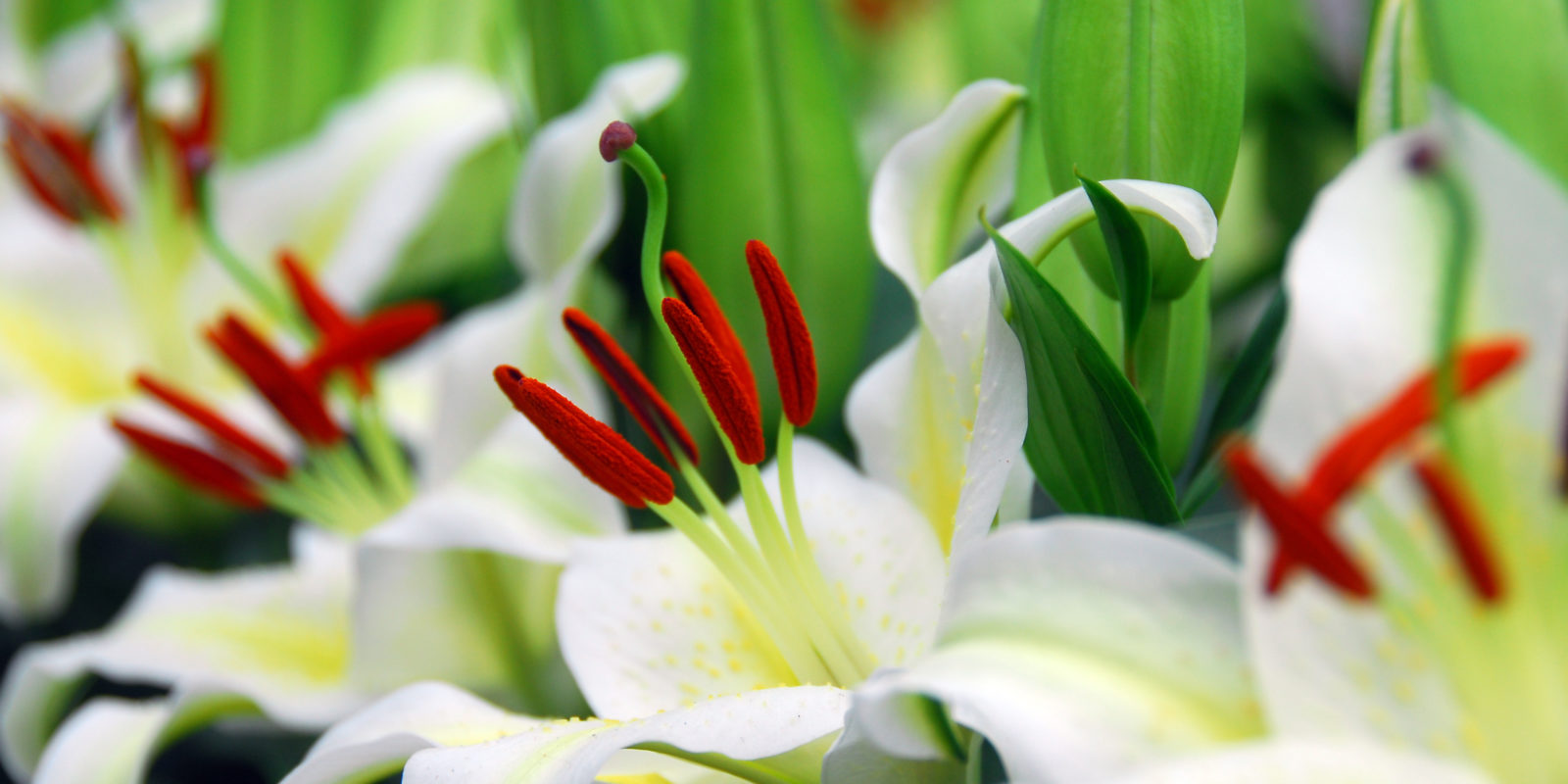 Lilies Enjoy The Flower Fields